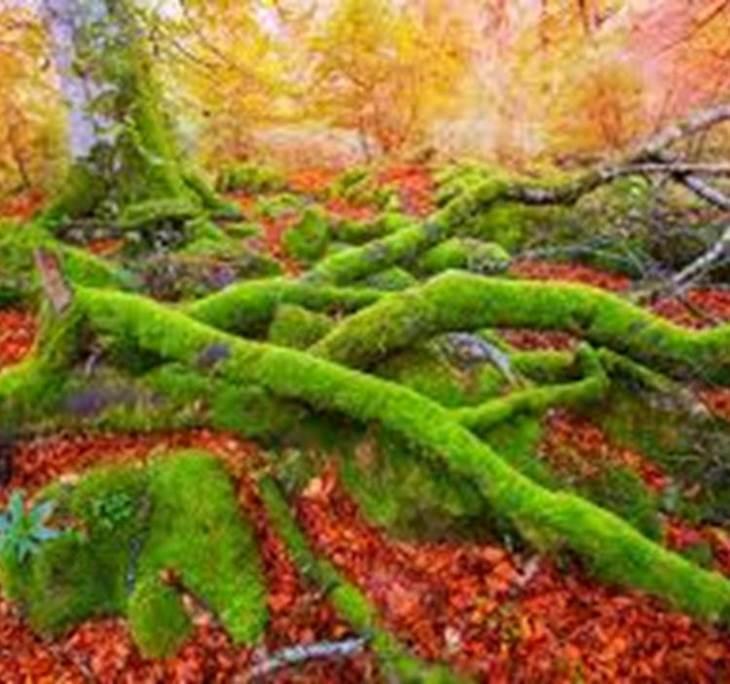 Selva de Irati, El mayor Hayedo de España - pic0